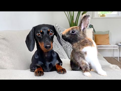 Dachshund and jumping bunnies.