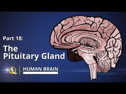 Pituitary Gland - Human Brain Series - Part 18
