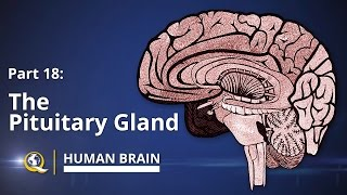 Pituitary Gland - Human Brain Series - Part 18
