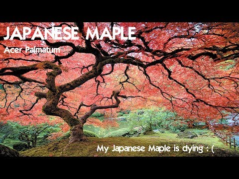 ⟹ JAPANESE MAPLE | Acer Palmatum | I may take this tree down and here's why!