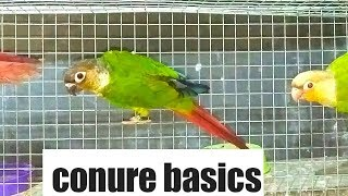 Conure basics/ how to take care of conures.