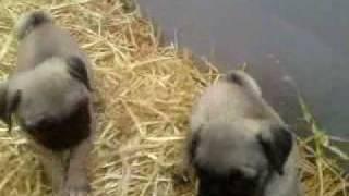 video mops pug