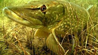 Щука каннибал: атака на рыболовные комбинированные приманки под водой. Видео-рыбалка.