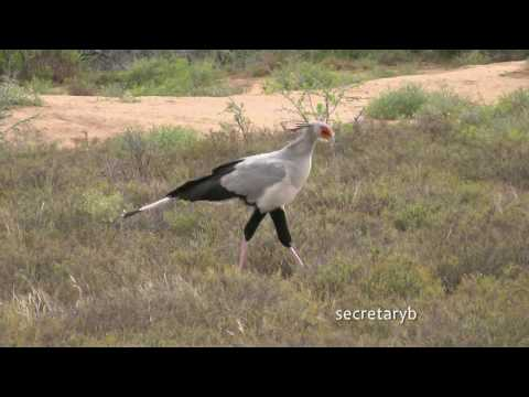 SOUTH AFRICA birds at the restcamps of Karoo and Bontebok n.p. (hd-video)
