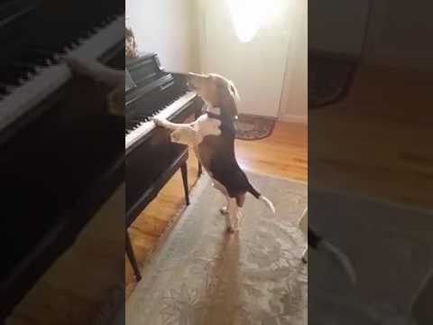 The Singing Dog With Piano Talents!