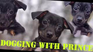 Dog VS CAR- Prince Barking At Toy Car Camero- Funny Animal Pet Video