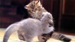 Эпичные котята идут на войну с лисятами!