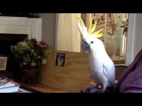 Cockatoo screaming contest