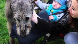 Прогулка с ирландским волкодавом