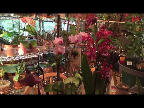 My Orchid Collection-Vlog 1 (V-1)