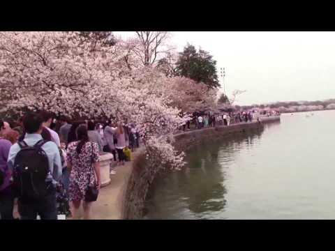 Washington D.C. Cherry Tree Blossoms (Peak Bloom- March 2017)