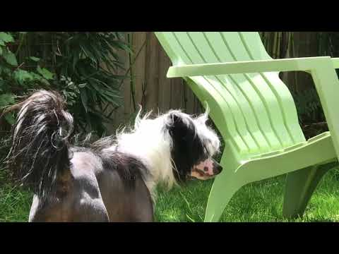 chinese crested dog 039   bathing in the sunshine