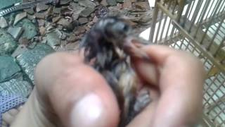 Wergan Jawa Masteran Murai Batu