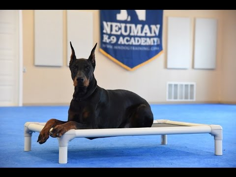Crixus (Doberman Pinscher) Advanced Obedience Training Demonstration