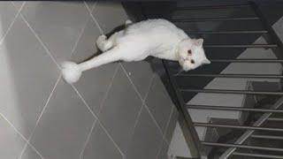 [까까캔디 ] 마중냥이 까까 ! |고양이외출 |호기심많은고양이 |페르시안 |고양이