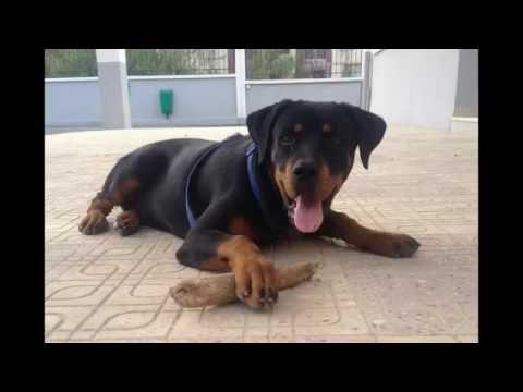 Happy puppy rottweiler