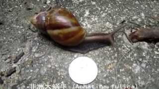 香港  非洲大蜗牛 (Achatina fulica)