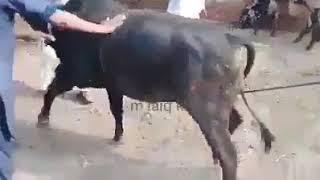 Angry bull crush people during qurbani some where in punjab