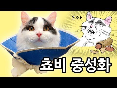 고양이 중성화 - 쵸비 수술 후 1주일 Cat Neutering