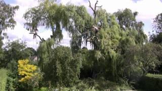 Pollarding Willow Trees