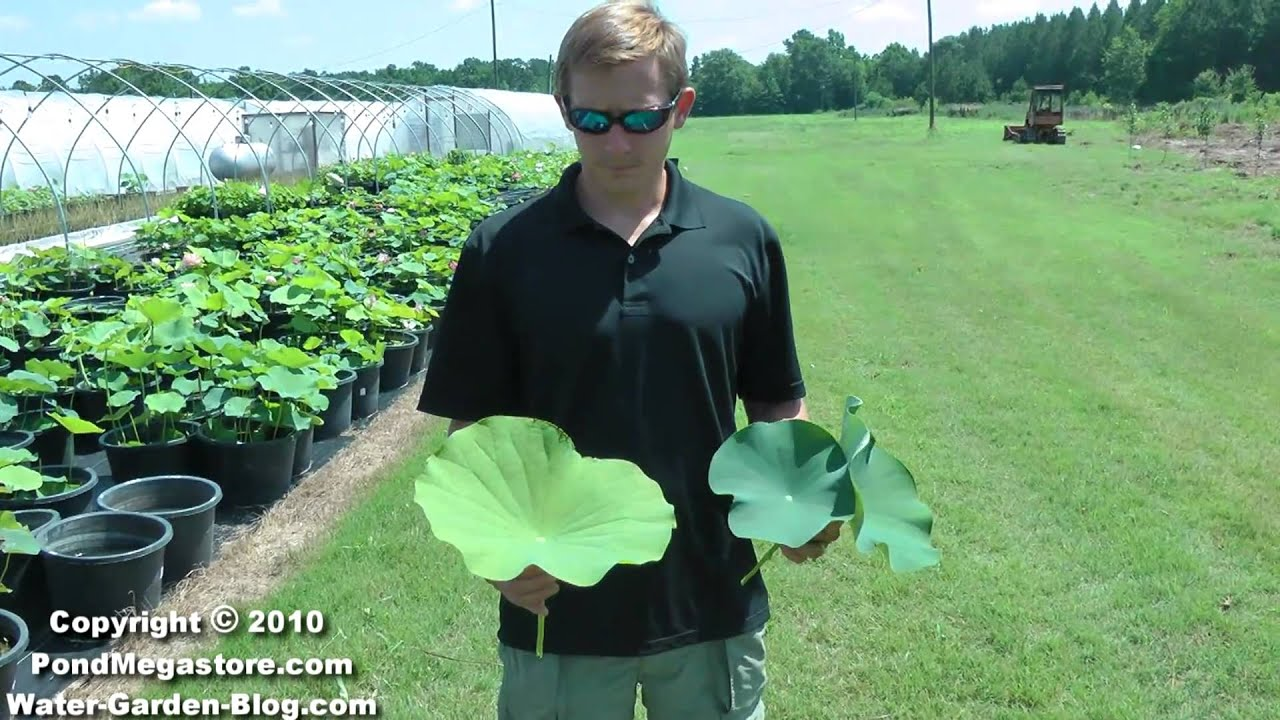 How to plant a lotus youtube - Lotus Aquatic Plant Micronutrients Growing Lotus And Healthy Plants Youtube