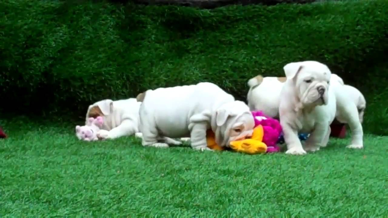 Beautiful White English bulldog puppies for sale! - YouTube