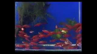 Маленькие аквариумные рыбки(Здесь перечислены основные виды маленьких аквариумных рыбок. http://oformi-akvarium.ru/, 2012-04-29T14:14:52.000Z)