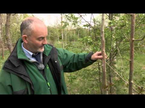 Chalara ash dieback - spring symptoms