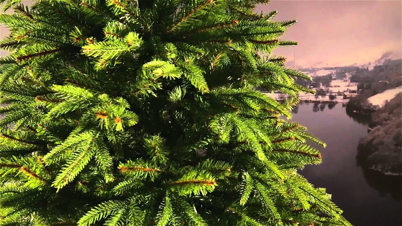 National Tree Weeping Spruce 7 Ft