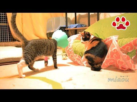 みみ避妊手術退院後の猫達の反応 MImi  Contraceptive surgery  Reactions of cats in the cat room after discharge