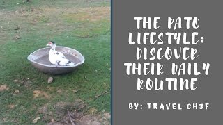 The Pato Lifestyle: Discover Their Daily Routine | Duck Trivia | Travel Ch3f