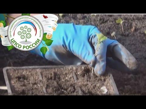 видео: Как пикировать капусту. Пикировка сеянцев капусты для рассады