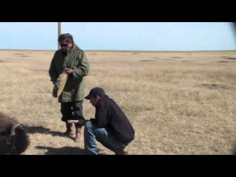 Buffalo return to the Cheyenne River Reservation