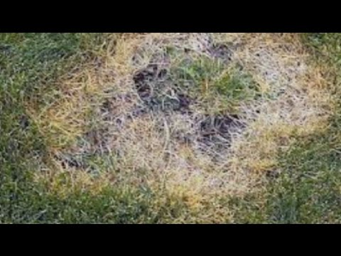 Heal Brown Spots On Your Grass - How to Cure and Prevent