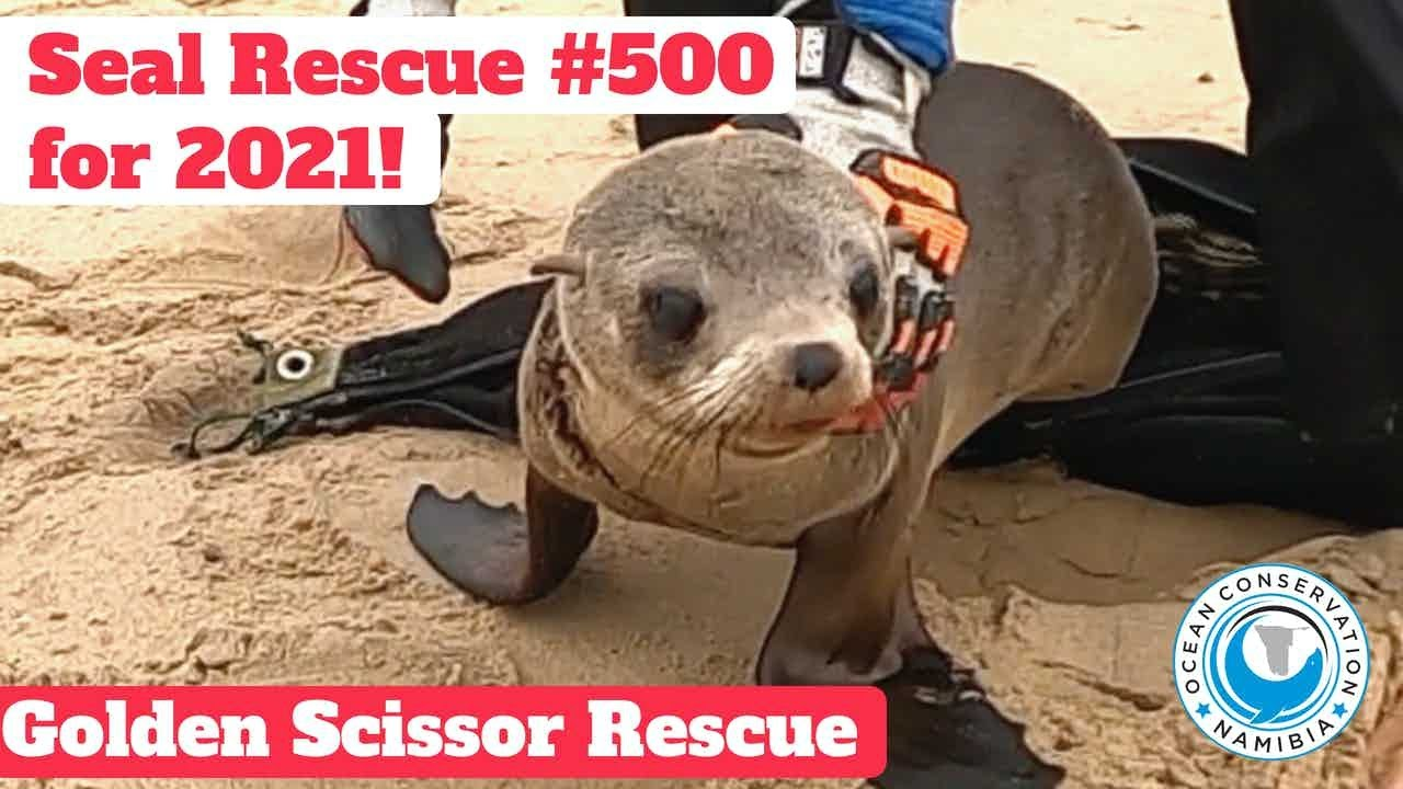 Seal Rescue #500 for 2021 - The Golden Scissors Come Out!