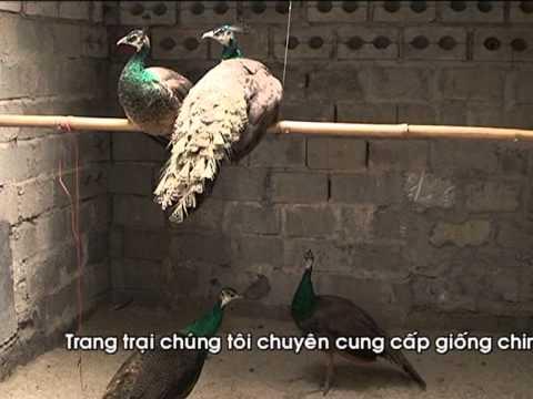 chim cong, chim tri, ga chin cua...hai duong