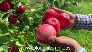 Яблоня сорт МЕЧТА. Один из лучших летних сортов яблок для сада