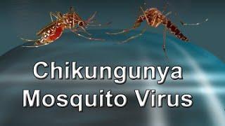 Mosquito Chikungunya virus