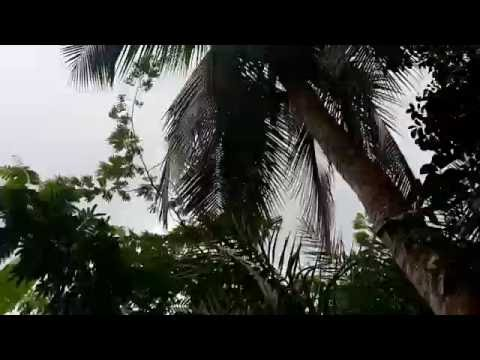 Coconut - green Coconut bring down from tree (13/9/16)