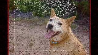 My Red Queensland Heeler Cattle Dog Chooey  By Dennis Winn