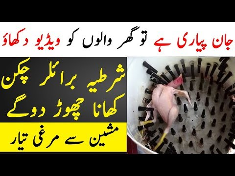 How Broiler Chickens Are Made and How Are They Unhealthy For Human Beings | TUT