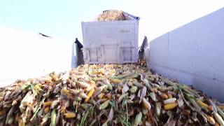 Gambar cover Seed Corn Harvest in Chatham-Kent