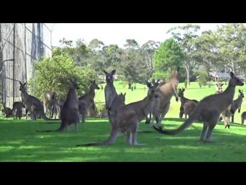 Kangaroos Crowd Australian Golf Course