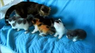 Exotic Shorthair Kittens at 5 weeks