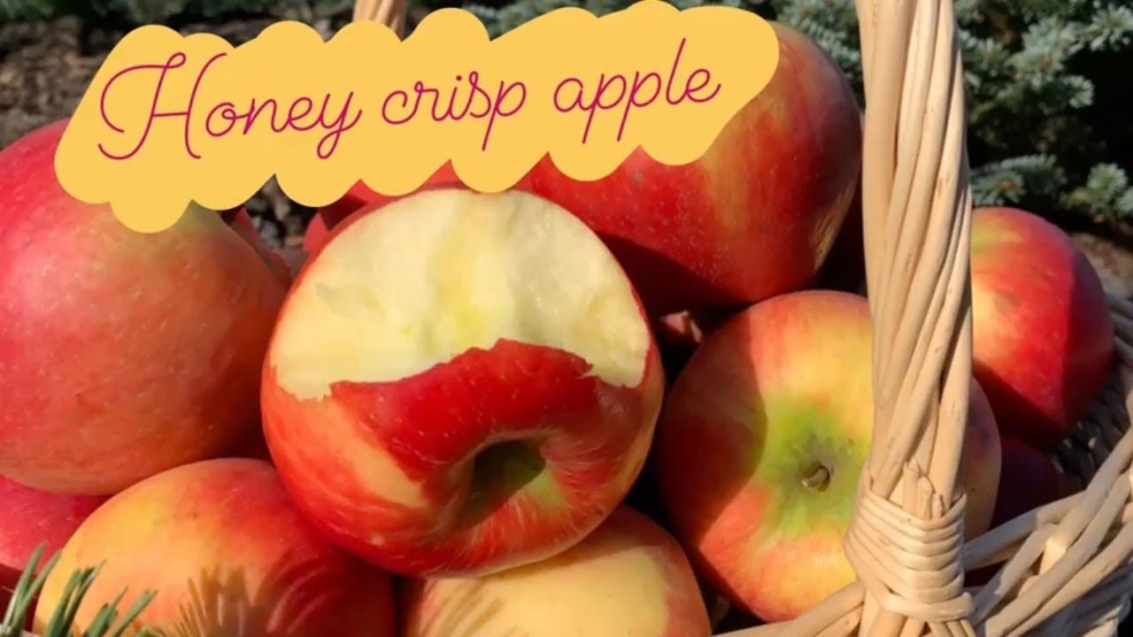 Сорт яблони Ханикрисп.
