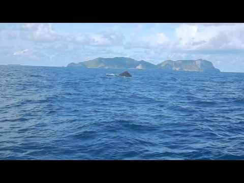 Humpback whales in Zamami, Okinawa prefecture, Japan