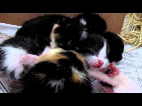 Hissing polydactyl kittens