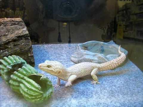 baby bearded dragon and albino lizard - YouTube