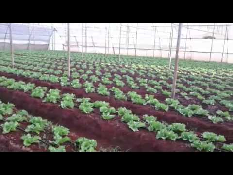 100% Organic Farming Results in Lettuce & zucchini Crop by Saanvi Organics