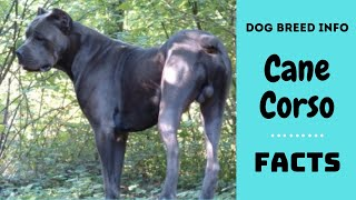 Cane Corso dog breed. All breed characteristics and facts about Cane Corso dogs